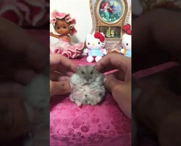 Tiny Hamster Grooming - tiny hamster grooming