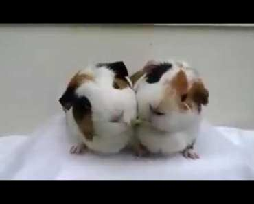 Two funny hamsters eating vegetable end up kissing each other - two funny hamsters eating vegetable end up kissing each other