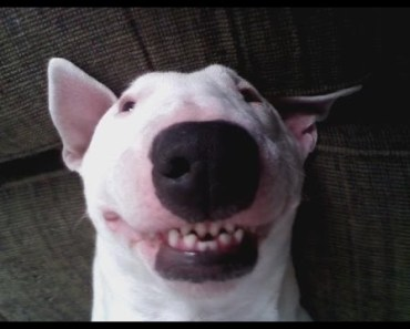 Ultimate Funny And Cute Bull Terrier Dogs Videos - Best Funny Dog Vines 2016 - ultimate funny and cute bull terrier dogs videos best funny dog vines 2016