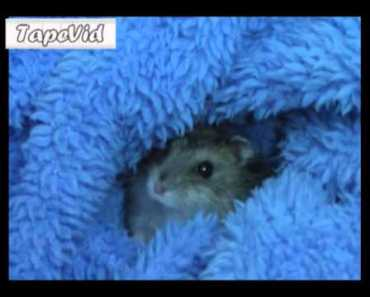 Angry baby Hamster (MUST SEE) - angry baby hamster must see