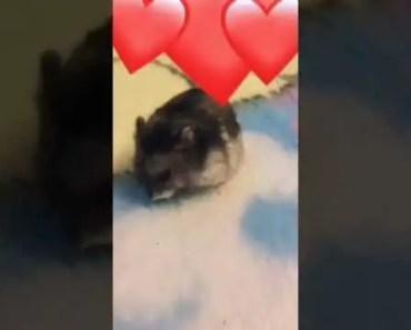 Best Hamster - best hamster