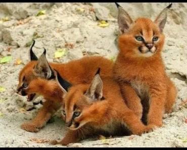 CARACAL KITTENS - The Cutest Kittens EVER Videos Compilation 2018 [BEST OF] - caracal kittens the cutest kittens ever videos compilation 2018 best of