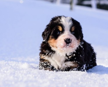 Cute Bernese Mountain Dog Puppies Playing In Snow! - cute bernese mountain dog puppies playing in snow