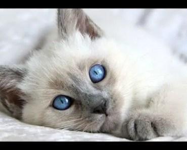 Cutest Kittens - Cute Balinese Kittens Compilation - cutest kittens cute balinese kittens compilation