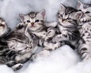 Cutest Kittens EVER! Cutest American Shorthair Kittens! (2018) - cutest kittens ever cutest american shorthair kittens 2018