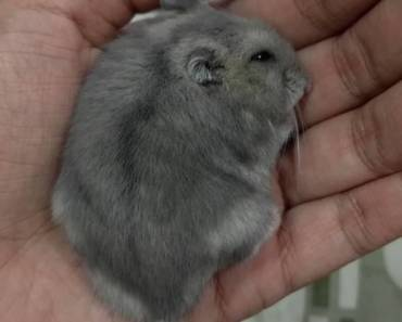 Dwarf hamster sleeping and breathing heavily - dwarf hamster sleeping and breathing heavily