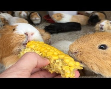 Funny And Cute Guinea Pig Videos #2 - Compilation 2018 - funny and cute guinea pig videos 2 compilation 2018