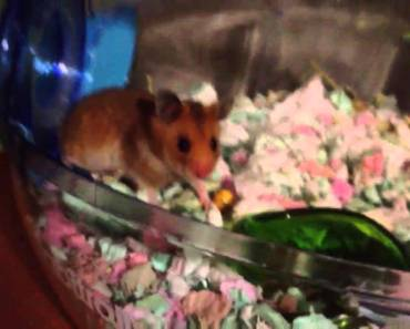 Funny hamster doesn't move a muscle - funny hamster doesnt move a muscle