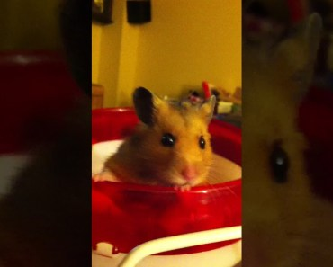 Funny hamster like to tea-cup his wheel - funny hamster like to tea cup his wheel