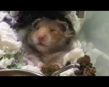 Funny Hamster voice over - funny hamster voice over