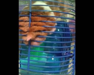 Funny wrong way hamster - funny wrong way hamster