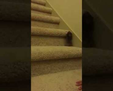 Hamster climbs up the stairs!! (Funny) - hamster climbs up the stairs funny