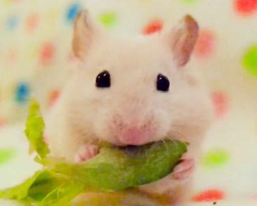 Hamster Eating Edamame Beans - hamster eating edamame beans