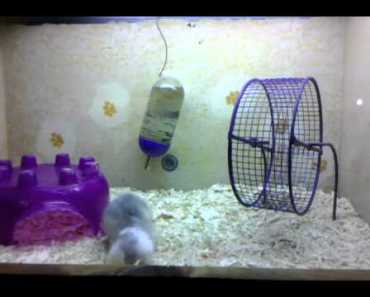 Hamster Mayhem (UFC Style) - hamster mayhem ufc style