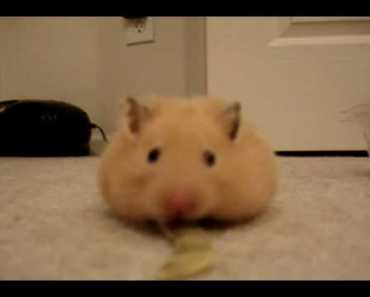 Hamster Vacuum! - hamster vacuum