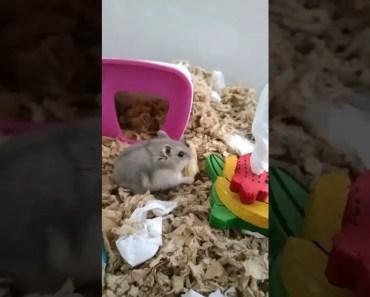 Hamster Watch - Case of the Vanishing Peanut - hamster watch case of the vanishing peanut