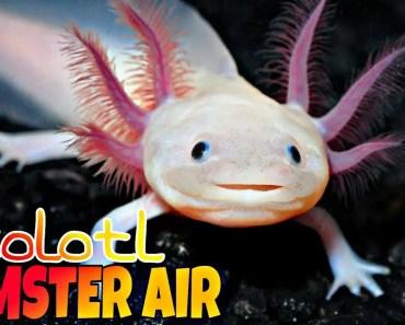 """IKAN HAMSTER """"AXOLOTL"""" - ikan hamster"""