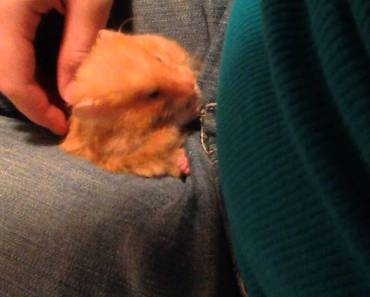 Long Haired Syrian Hamster Sleeping and Grooming On Lap - long haired syrian hamster sleeping and grooming on lap