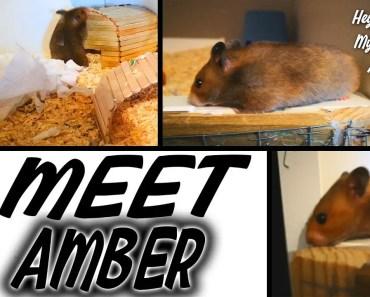 MEET AMBER   SYRIAN UMBROUS HAMSTER - meet amber syrian umbrous hamster