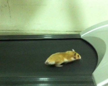 My Hamster is doing some Exercise on a treadmill :)) - my hamster is doing some exercise on a treadmill