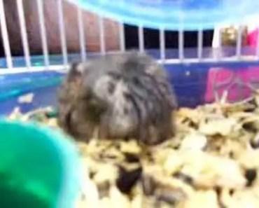 My weird hamster falling backwards - my weird hamster falling backwards