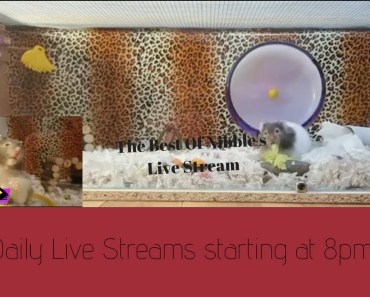 The Best of Nibble's LIVE STREAM- Jungle Cage/ Cute funny Hamster Fails - the best of nibbles live stream jungle cage cute funny hamster fails