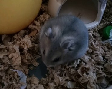 Tiny Hamster In a Cup - Hamster Watch - tiny hamster in a cup hamster watch
