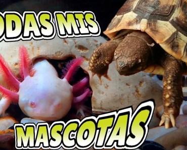 TODAS MIS MASCOTAS - Ajolote (Axolote Mexicano), Cobayas, Lirones, Hamster, acuarios y peces - todas mis mascotas ajolote axolote mexicano cobayas lirones hamster acuarios y peces