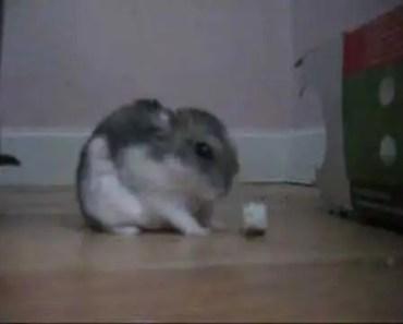 funny hamster - 1528211295 funny hamster