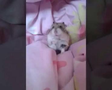 Funny Hamster - 1530053826 funny hamster