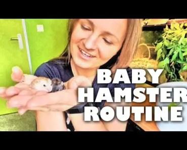 Baby Hamster Routine | Zo maak ik de jonge hamsters tam - baby hamster routine zo maak ik de jonge hamsters tam