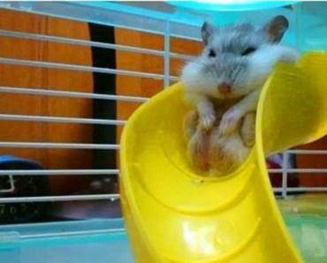 Cute Hamster Goes Down Slide - cute hamster goes down slide