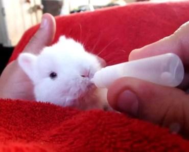 Cute Rescued Baby Rabbit Drinking Milk - cute rescued baby rabbit drinking milk