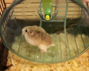 Dwarf Hamster Fail - dwarf hamster fail