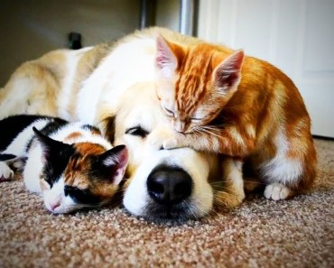 Funny Cats Who Love To Give Massage To Dogs! - funny cats who love to give massage to dogs