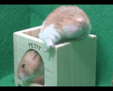 Funny Cute Hamster - funny cute hamster