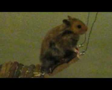 Funny hamster Charly tries to escape - funny hamster charly tries to escape