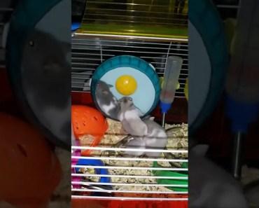 Funny Hamsters battle II xD - funny hamsters battle ii