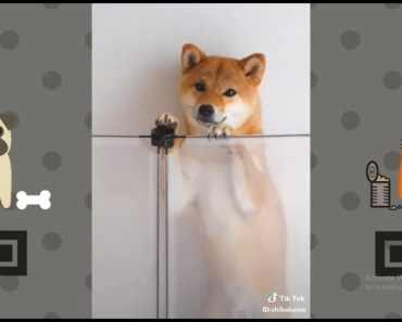 Funny Shiba Inu Dance With A Cute Smile | NEW Funny and cute Animal-Compilation | 2018 P.5 - funny shiba inu dance with a cute smile new funny and cute animal compilation 2018 p 5