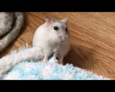 Hamster Raving with Sock.. Lol! - hamster raving with sock lol