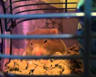 Hamster (why does she do this jumpy and sneeze sound?) - hamster why does she do this jumpy and sneeze sound