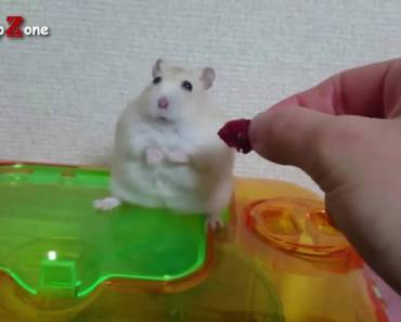 Hamsters A Cute Hamster And Funny Hamster Videos Compilation NEW HD - hamsters a cute hamster and funny hamster videos compilation new hd