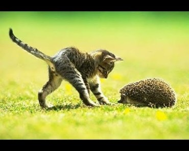 HEDGEHOGS Trying To Befriend KITTENS - Cute Kitten And Funny Hedgehog Videos Compilation 2018 - hedgehogs trying to befriend kittens cute kitten and funny hedgehog videos compilation 2018