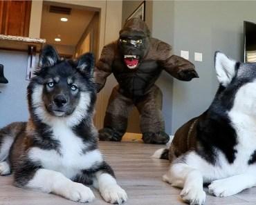 Huskies vs. Scary Gorilla Prank: Funny Dogs Kakoa & Sky - huskies vs scary gorilla prank funny dogs kakoa sky