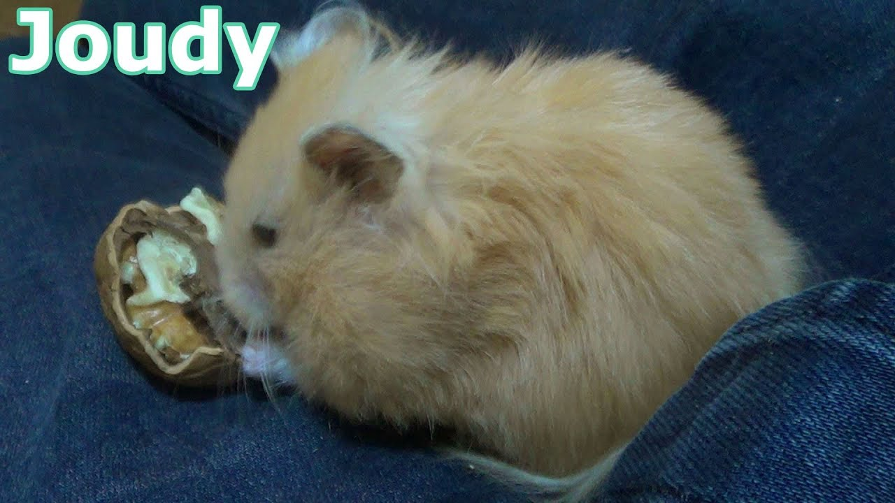 Joudy my cute syrian hamster eating walnut - Hamster Care