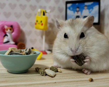 Pampered hamster Loves to Eat Watch TV [CUTE HAMSTER VID] - pampered hamster loves to eat watch tv cute hamster vid