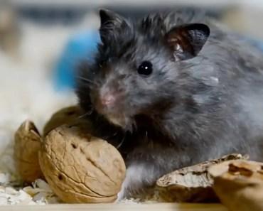 Scruffy Hamster Gets A Shock! - scruffy hamster gets a shock