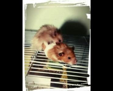 Syrian hamster mating - syrian hamster mating