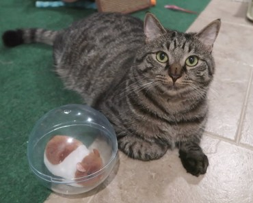 The Cats Have A Pet Hamster - Scooter Pet Ball Review - the cats have a pet hamster scooter pet ball review