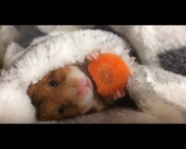 Top Funny Hamster Videos Compilation 2017 - Cute And Hungry Animals - top funny hamster videos compilation 2017 cute and hungry animals